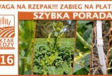 Photo of UWAGA NA RZEPAK!!! ZABIEG NA PŁATEK. | SZYBKA PORADA #16